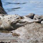 Huge croc