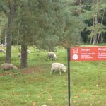 Safe for the Sheep ?