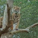 Tiger up in its tree at feeding Time