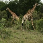 We saw a ton of animals in just three days. The giraffes were beautiful.