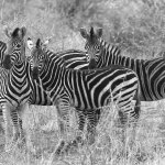 Foto van Madikwe Safari Lodge