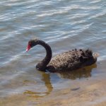 Black swan up close