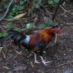 ever present roosters.
