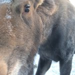 Young male moose, wilderness tour Arctic Range Adventure