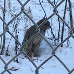 Lynx at feeding time, wilderness tour