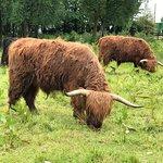 Highland Hairy Cows!