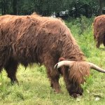 close -up of Highland Hairy Cows.