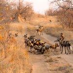 Wild dog traffic jam