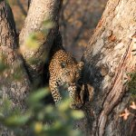 Mother leopard ... cub and their kill were in the tree above her