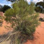 Foto Australian Arid Lands Botanic Garden