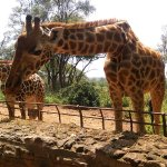 Photo of Giraffe Centre