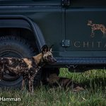 Game Viewing at Chitabe Camp