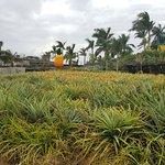 Nago Pineapple Park - 파인애플 농장