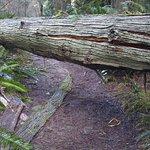 Tree down on yellow trail btn Spine Trail & Vashon Viewpoint 1.13.18