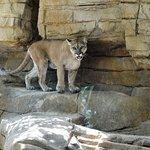 Mountain lion exhibit