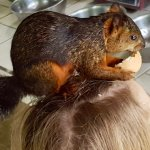 Rare 'Egg On Head Eating' wild squirrel