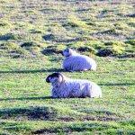 Enjoy the sheep...