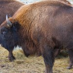 This was part of a large group of Bison