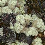 lichen on the Lava