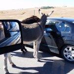 Nieuwsgierige ezels