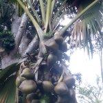 Гигантские кокосы