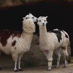 Serge le lama est amoureux