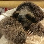One-month old rescued Sloth