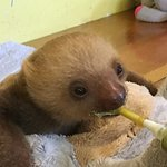 Maya, a one-month old rescued Sloth being fed