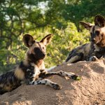 African wild dog pups encountered on morning game drive 5 mins from the lodge