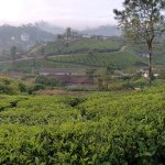 Morning stroll in the tea plantation. Hotel is on the left in the distance.