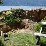 Picnic Area near Nesting Native Black-Backed Gull and Worried Mate