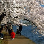 Photography at Cherry Blossoms Time