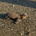 Turtle baby relase on New Years, race to the ocean. Luna Lodge support this turtle project