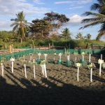 Turtle incubator in Carate before hatching, Luna Lodge support this project