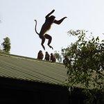 Enteraining red colobus monkeys