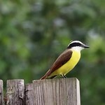 you will see many of these (Kiskadee) near the pools