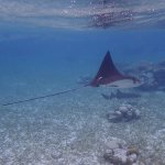 Many magnificent Eagle Rays