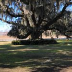 Live Oak on the plantation