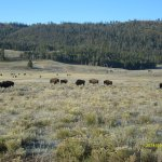 Bison grazing along Lamar Valley - Yellowstone National Park