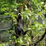 Really loud howler monkeys in action