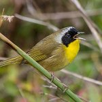 Common Yellowthroat male