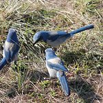 Trio of Scrub Jays
