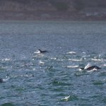 Dolphins cavorting on Hout Bay