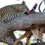 A leopard feasting on a springbok on top of a tree