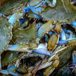 Be sure to enjoy some crabs in season- a Maryland delicacy!