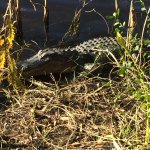 Alligator right by the boardwalk