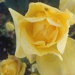 129! Rose varieties