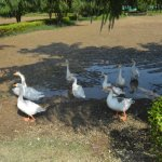 Geese kept by hotel.