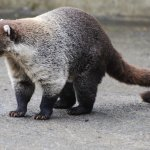 A white nosed coati helps us wait for the shuttle.