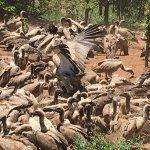 Vulture feeding at the safari lodge every day at 1pm.